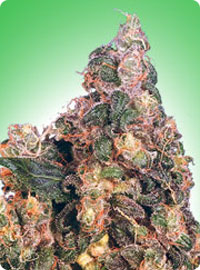 cannabis seeds Blue Mystic