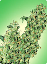 cannabis seeds Jacky Herer