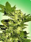 cannabis seeds Lowryder