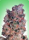 cannabis seeds Misty