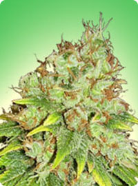 cannabis seeds Sensi Star