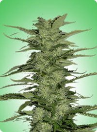 graine cannabis Snow White