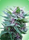 cannabis seeds Top 44