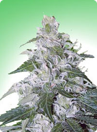 cannabis seeds White Rhino