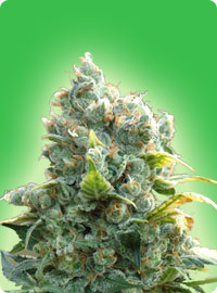 graine cannabis White Widow