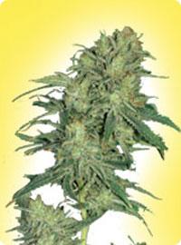 graine cannabis Afghani Hindu Kush femelle