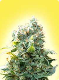 cannabis seeds Feminized K2