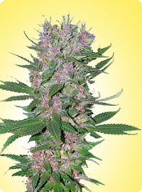 graine cannabis Purple Power femelle