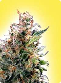 graine cannabis California Orange Bud femelle