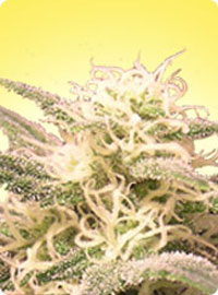 cannabis seeds Feminized AK-48