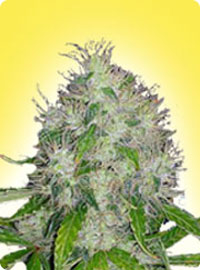 cannabis seeds Feminized Master Kush