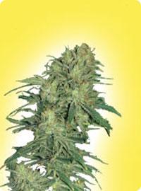 cannabis seeds Feminized Afghan Outdoor