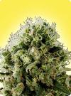 cannabis seeds Feminized Chrystal