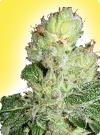 graine cannabis Aurora Indica femelle