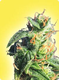 graine cannabis Bubblelicious femelle
