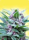 cannabis seeds Feminized Top 44
