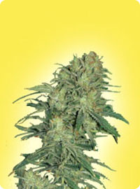 cannabis seeds Feminized Afghan