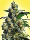cannabis seeds Feminized Northern Light x Shiva
