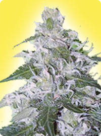 cannabis seeds Feminized White Rhino