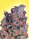cannabis seeds Feminized Misty
