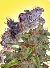 graine cannabis Graine cannabis femelle mixture