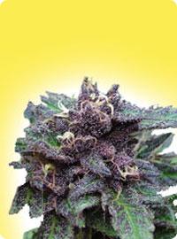 graine cannabis Durban Poison femelle