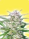 graine cannabis Early Bud femelle