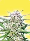 graine cannabis Early Bud femelle