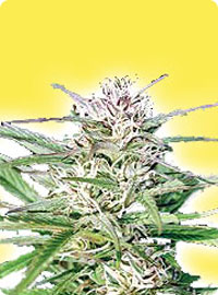cannabis seeds Feminized Early Bud