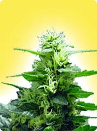 graine cannabis Feminized Citral