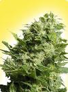 cannabis seeds Feminized Four Way Specials