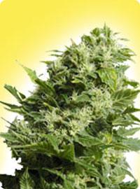 graine cannabis Four Way Specials femelle