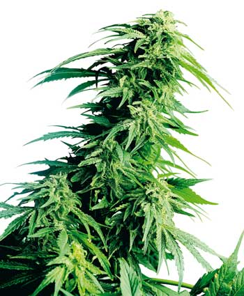 graine cannabis hindu kush
