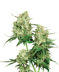 cannabis seeds maple leaf indica