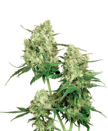 graine cannabis maple leaf indica