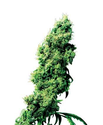 cannabis seeds four way   indoor