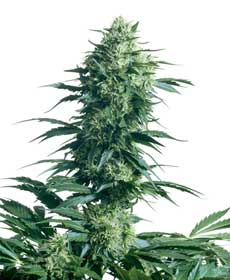 graine cannabis mother's finest
