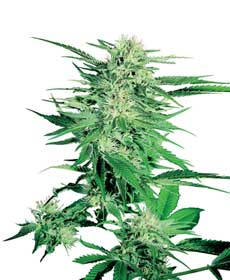 graine cannabis big bud  10  indoor