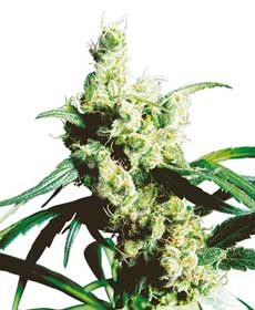 cannabis seeds silver haze  10  indoor