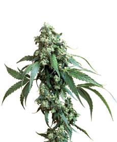 graine cannabis jack flash  10 indoor