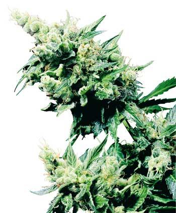 graine cannabis hash plant