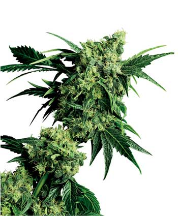 cannabis seeds mr. nice g13 x hash plant