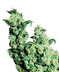 cannabis seeds jack herer