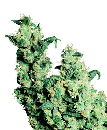 graine cannabis jack herer