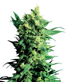 graine cannabis shiva shanti ii  10  indoor/greenhouse