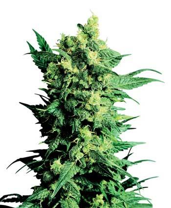 graine cannabis shiva shanti ii