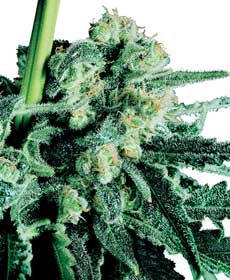 graine cannabis sensi skunk