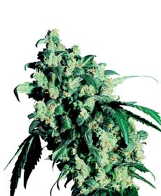 graine cannabis super skunk