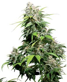 graine cannabis california indica  10  indoor/greenhouse