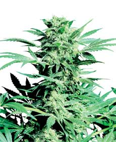graine cannabis shiva skunk   indoor/greenhouse